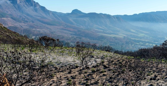 Mountains of the Cape Peninsula above the Constantia Valley with its vineyards and plantations below. In the foreground are Protea and Leucodendrum bushes, burnt during the firestorm. (Photo taken at the Silvermine Nature Reserve by Sidney Luckett, June, 2015.)