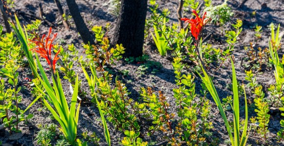 Protea seedlings sprouting at the base of a burnt out protea bush. Among these seedlings are two Cobra lilies, which flower soon after the first winter rains. (Photo taken at the Silvermine Nature Reserve by Sidney Luckett, June, 2015.)