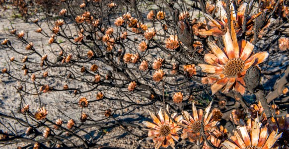 Cones of a Protea bush which have been burst open by the heat of the firestorm, allowing it to spray its stored seeds. (Photo taken at the Silvermine Nature Reserve by Sidney Luckett, June, 2015. )