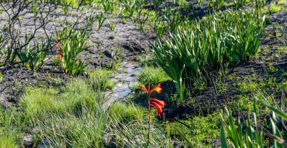 Young plants, including Cobra lilies sprouting next to a small stream in the Table Mountain National Park, devastated by a firestorm in March and now coming to life after the first rains.(Photo taken at the Silvermine Nature Reserve by Sidney Luckett, June, 2015.)
